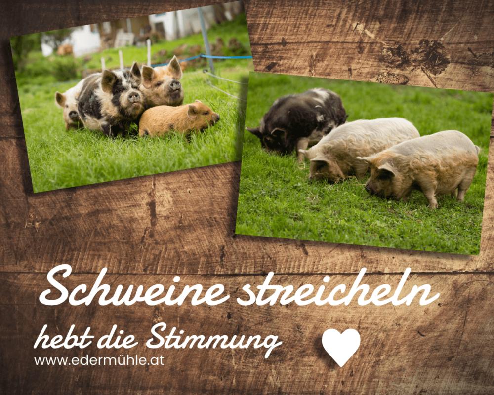 Schweine streicheln hebt die Stimmung